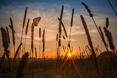 Independence (frantiekl) Tags: butterfly sunshine sunlit goldenhour meadow nature bohemia