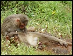 SLEEPING BEAUTIES  :  Monkeys at Kate's Point - Mahabaleshwar (indianature13) Tags: katespointmahabaleshwar katespoint maharashtra mahabaleshwar monsoons mountains westernghats indianature india september 2016 needlepoint elephantsheadpoint monkey monkeymahabaleshwar sleepingbeauties