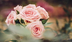 Life is sweet (Midori (K)) Tags: roses pink flowers nature lovely