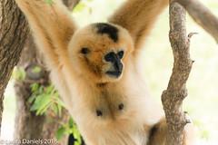 _MGL9399.jpg (shutterbugdancer) Tags: fortworthzoo primate whitecheekedgibbon
