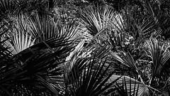Fan Palm In Silhouette Shadow and Sunlight (Mike Schaffner) Tags: bw blackwhite blackandwhite fan fanpalm light monochrome palm plant shadow shadows silhouette sunlight woods houston texas unitedstates us