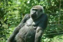 DSC_1266 (Schepers Ronald) Tags: animals monkey pig wolf dino gorilla pg monkeys hippo dieren lynx aap cheeta varken nijlpaard dinosaurus paard paarden buffel zwijn giraf struisvogel stokstaart veelvraat vogelstruis