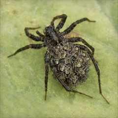 spiderling creche (Black Cat Photos) Tags: baby macro cute nature closeup canon bug season insect spider back amazing babies wildlife yorkshire rear mother creepy parent shake scared nurture incredible crawl arachnophobia carry creepycrawlies protect raise cultivate spiderlings crawlie bughunt carefor