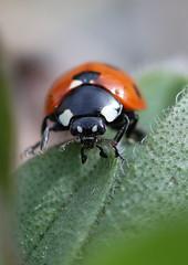 ladybird 1 (wynpembs) Tags: orange macro nature closeup wales fauna canon insect spots ladybird ladybug pembrokeshire fishguard canonef100mmf28usm canon600d