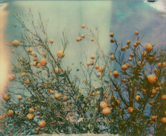 'RoidWeek 2012 (Kristina) Tags: blue sky tree polaroid citrus spectra leafs pz brunches impossibleproject roidweek2012