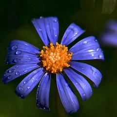 Winter Blues, Adelaide_2800_2 (Rikx) Tags: blue winter sun flower rain yellow garden explore daisy raindrops adelaide southaustralia