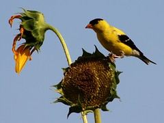 Summer Scene (donsutherland1) Tags: summer ny newyork bird goldfinch blossoms july bloom soe americangoldfinch birdwatcher mamaroneck thegalaxy sunflowersflowers flickraward kunstplatzlinternational mygearandme mygearandmepremium mygearandmebronze mygearandmesilver mygearandmegold mygearandmeplatinum mygearandmediamond allnaturesparadise