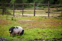 a pig's day (rikhard.kuutti) Tags: pink food white black green suomi finland pig search pasture lapland animalpark lappi forage äkäslompolo potbelliedpig ylläs kotieläinpiha konijänkä