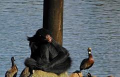 Macaco Aranha/spider monkey (Ricardo Venerando) Tags: life park nature animal brasil monkey wildlife natureza olympus explore discovery soe naturesfinest conservacion nationalgeografic platinumphoto diamondclassphotographer ysplix goldstaraward ricardovenerando