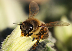 IMG_5043 (Yousef Aisheh) Tags: macro closeup bee eat honey
