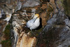 Sula Sulla Scogliera (Wrinzo) Tags: cliff scotland europa europe cliffs atlanticocean nord seabirds gannet scogliere scogliera unst scozia morusbassanus oceanoatlantico shetlandislands sulabassana uccellimarini northengannet hermanessnaturalreserve isoleshetland riservanaturaledihermaness