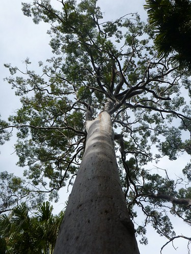 Red Gum Canopy