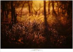Heather in the golden light of evening (5D039739) (nandOOnline) Tags: sunset shadow sun sunlight plant nature landscape zonsondergang heather nederland natuur hei schaduw zon heide landschap zonlicht strabrechtseheide mierlo callunavulgaris strabrecht struikheide nbabant