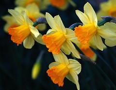 Daffodils (alanpeacock2) Tags: backgarden daffodils flowers orange spring yellow flowersinmygarden nature trumpet brexit