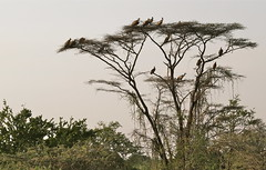 At Day's End (**El-Len**) Tags: africa sunset tree bird explore omovalley vulture acacia eastafrica fav10 snnpr thebestofmimamorsgroups southernnationsnationalitiesandpeoplesregion