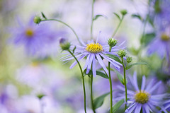 Autumn Asters (Jacky Parker Floral Art) Tags: flowers autumn art nature floral horizontal closeup garden landscape flora purple creative lilac flowering softfocus buds format blooms orientation asters perennials asterxfrikartii