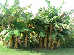 Banana Trees in Maui Hawaii