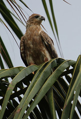 Brahminy Kite (Wild Chroma) Tags: birds srilanka indus haliasturindus naturetrek haliastur nonpasserines muthurajawela