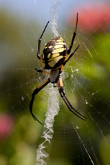 Protect! (Connie Etter Photography) Tags: yellow canon spider backyard legs web indiana 100mm yucky bananna 5dmarkii