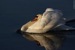 riflesso di cigno (petrerigiuliano) Tags: nature animals aves uccelli animali cigno volatili
