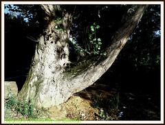 UN joli tronc d'arbre. (Christabelle12300 & Pitchounet(peu présente )) Tags: photo flickr uni sil sest vous votre étiquette plaît flickrunitedaward