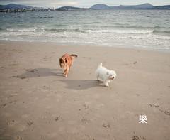 Beach Friend (Gomerama) Tags: beach dogs westie canine bonnie westhighlandwhiteterrier hobart 2012 derwentriver riverderwent beachfriend gomerama bonniethewestie
