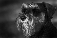 Jack 30th-August-12 (35/52) (linlaw39) Tags: life dog white nature animal puppy jack mono blackwhite gallery bokeh schnauzer lowkey 2012 week35 lindal aperturepriority 70300mmlens 52weekproject canoneos500d august2012 522012 52weeksthe2012edition 30082012 weekofaugust26