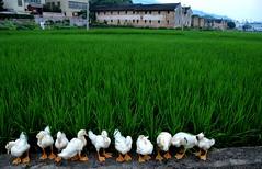 Duck ducks  (Mel@photo break) Tags: china baby plant green duck duckling mel crop poultry melinda quack  jiaoling  chanmelmel melindachan
