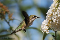 Preparing for a Long Journey (Sheldon Emberly) Tags: foliage butterflybush pictureperfect assiniboinepark rubythroatedhummingbird englishgardens theenchantedcarousel nikond3000
