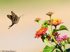 Long-tailed Skipper / Lantana- Bayou Courtableau, Louisiana (Image Hunter 1) Tags: pink red orange flower green nature leaves yellow flying leaf wings stem louisiana branch flight skipper bayou swamp bloom greenery marsh lantana longtailedskipper canoneos7d bayoucourtableau