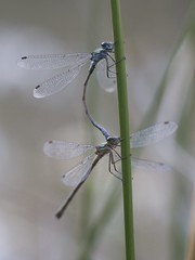 Emerald Damselflies (Ann@Plas Gwernoer) Tags: blue male green female mating damselfly emerald emeralddamselflies