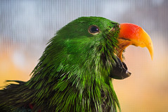 The squawk! (Diego Tabango) Tags: color bird nikon beak feathers parrot rogue avian eclectus squawk d4 105mmvr strobist diegotabango flashbender
