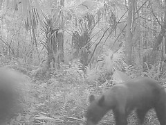 Florida black bear (Ursus americanus floridanus) cub and parent (Mark Herse) Tags: bear park camera wild usa black nature strand cub adult state florida wildlife young conservation trail management everglades juvenile preserve blackbear offspring ursus bushnell ursusamericanus fakahatchee trailcamera fakahatcheestrand trailcam colliercounty floridablackbear gamecamera trophycamera ursusamericanusfloridanus