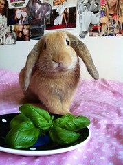 """""""This iz da life! Bweakfast in beddy!!"""" (mylo_rabbit) Tags: boy pet baby house cute rabbit bunny bunnies love face animal breakfast mouth ginger yummy bed paw furry friend funny play yum sweet eating sleep expression lol adorable handsome fluffy ears cheeky whiskers eat sweetie rabbits paws playtime companion hehe facial bun lapin mylo houserabbit lop bedlinen minilop nomnomnom"""