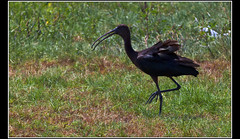 Glossy ibis (Plegadis falcinellus) (Dune_UK) Tags: travel black bird eye art look grass liverpool joseph island j photo blog different photographer traffic legs image sale walk sold beak kingdom plegadis falcinellus glossy ibis photograph frame saudi arabia wife latex jeddah seen glynne pritchard scouser curlew jiddah