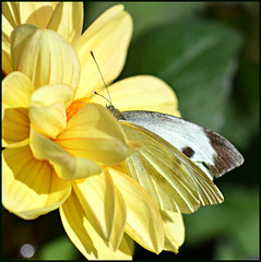 Half Camoflaged (Eleanor (WHU)) Tags: nature yellow butterfly garden dhalia floralfantasy fantasticnature naturesgallery smallwhitebutterfly flowersarebeautiful worldofflowers naturespotofgold flickrsawesomeblossoms naturescreations unforgettableflowers addictedtoflowers flowersonflickr weallloveflowers natureskingdom anaturecanvas aboutthenaturewithlove flowers4you brigettesbeautifulnaturegallery eveythinggoodinnature anythingnikonexceptpeople