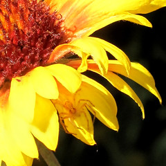 spied her.... (52joan~trying to catch up!) Tags: flowers macro flickr sunflower onblack spiider