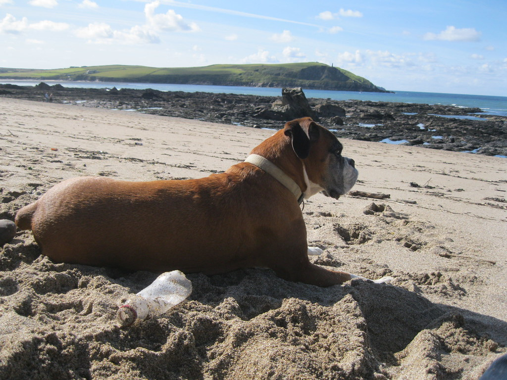 Micha the Boxer dog relaxing at Greenway Beach - 2012