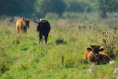 Heckrinder in den Rieselfelder Mnster (kalakeli) Tags: fauna 2012 rieselfelder heckrind heckcattle rieselfeldermnster