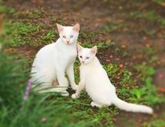 Like mother like daughter :) (NatureGeek_inBR) Tags: cats cat kitten blueeyes daughter mother kittens whitecat animalplanet oddeyed oddeyedcat