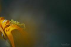 Petit crabe des fleurs - Small flower crab (Solange B) Tags: araigne spider crabe crab misumenavatiafleur flower prdateur predator carnivore carnivorous nikon d800 macro 105mm solangeb