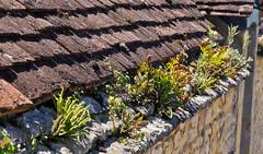 Dach / Roof (schreibtnix) Tags: roof plants france detail building travelling reisen frankreich pflanzen haus dordogne prigord dach lesjardinsdemarqueyssac olympuse5 schreibtnix