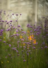 Verbena and Wisley glasshouse (tonybill) Tags: flowers gardens bokeh july surrey miscellaneous wisley rhswisley rhs helios402