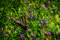 _DSC3998 (Simply Angle) Tags: sony sonyphotographing sonyphotography a7ii ilce7m2 chewelahwa washington outdoors outside butterfly field fields nature yellow purple macro closeup green lush weeds fe 50mm f18 fe50mmf18 sel50f18f