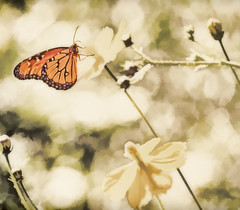 HEAVEN IS A PLACE ON EARTH (Irene2727) Tags: butterfly bug nature fauna flora bokeh sepia selectivecolor orange