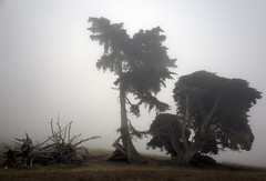 Living_Dead (Joe Josephs: 2,650,890 views - thank you) Tags: blackandwhitephotography pinetrees pineforests fiscaliniranchpreserve california californiacentralcoast californialandscape landscapephotography landscapes fineartphotography death old oldtrees fog foggyweather foggy hiking travelphotography