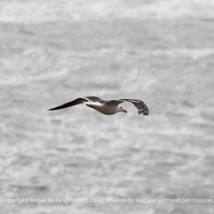Greater or Lesser Black Backed Gull (doublejeopardy) Tags: mist thelizard gale cornwall places sea lizard england unitedkingdom gb