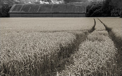 Trace in wheat field (KF-Photo) Tags: colorkey einsiedel getreide scheuer schuppen weizen 1610 weizenbier