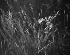 wild iris, grasses, Lobster Cover, Monhegan, Maine, Mamiya 645 Pro, Mamiya 80mm F-2.8, Iford FP4+, R5 Monobath Developer, August 2016 (steve aimone) Tags: iris wild grasses blackandwhite monochrome monochromatic lobstercove monhegan monheganisland maine mediumformat mamiya645pro mamiyasekkor80mmf28 ilfordfp4 r5monobathdeveloper flower floral floralform