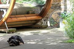 Flo Yorkie Poo Puppy Resting in the garden (@oakhamuk) Tags: flo yorkiepoo puppy resting garden martinbrookes